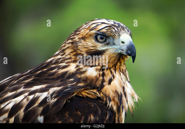 Galapagos hawk (Buteo galapagoensis) on a rock. This bird of prey is native to the Galapagos Islands, where it feeds - Stock Image