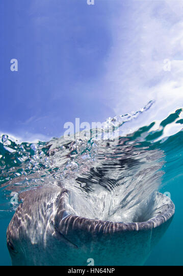 Whale shark snorkel encounter at village of Oslob, on the island of Cebu, Philippines. - Stock-Bilder