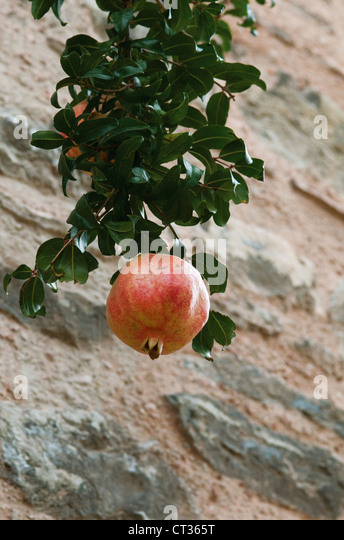 Punica, Pomegranate - Stock Image