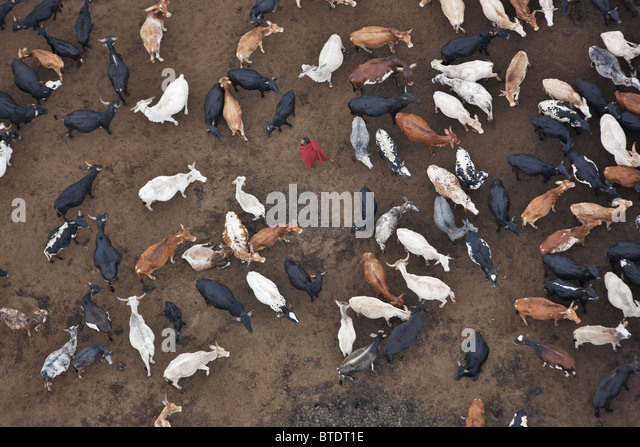 Aerial view of a Masai or Maasai man with his cattle.Kenya - Stock Image