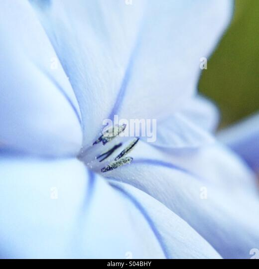 Macro of a blue flower - Stock Image