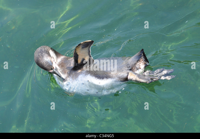 Swimming penguin waving wing - Stock Image