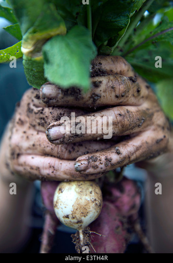 A worker holds up a radish freshly harvested at the Clark family Farm June 20, 2014 in Ellicott City, Maryland. - Stock Image