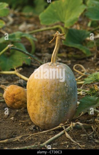 Cucurbita pepo, Squash - Stock Image