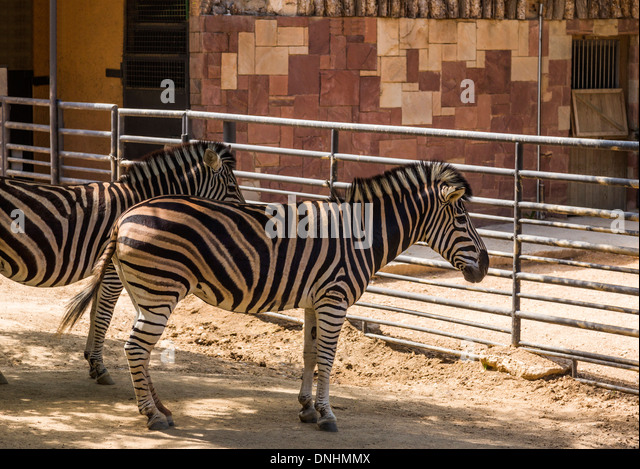 Chapman's zebras (Equus quagga chapmani) in a zoo, Barcelona Zoo, Barcelona, Catalonia, Spain - Stock-Bilder