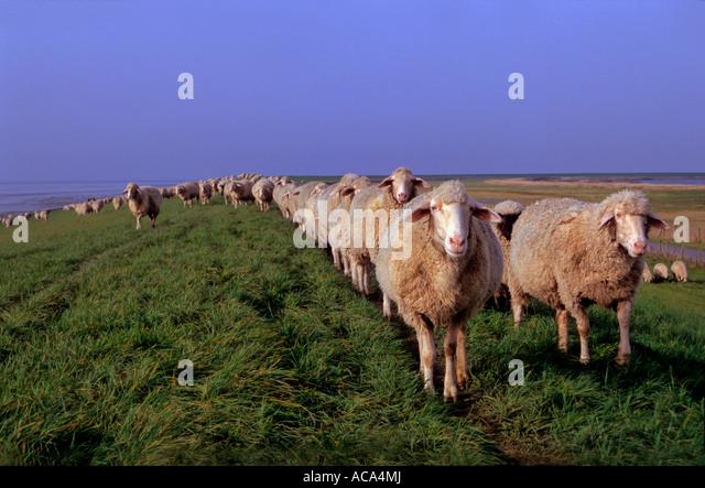 Flock of sheep walking on the dyke - Stock Image