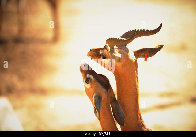 Love. Gerenuk (Litocranius walleri), - Stock-Bilder
