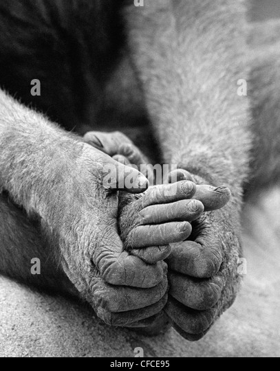 Ape holding feet with hands at San Diego Zoo, California, USA - Stock-Bilder