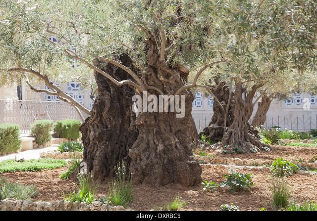 Gethsemane, Jerusalem, Israel. - Stock Image