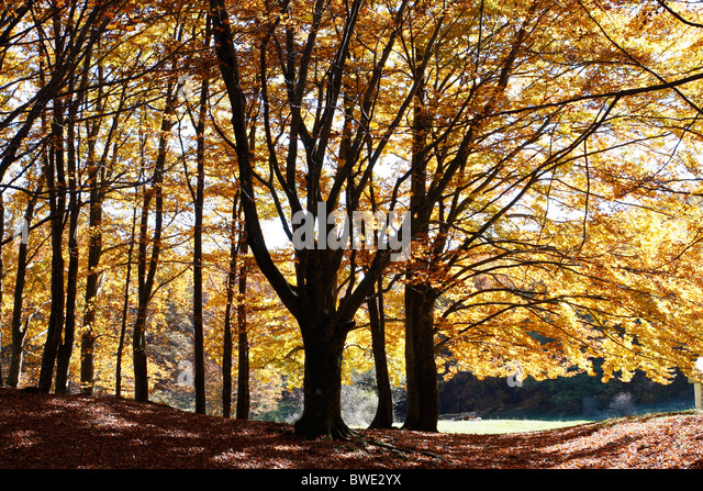 Autumn,fall, woodland colors in a beech tree forest of the Sibillini National Park,Le Marche,Italy. - Stock Image