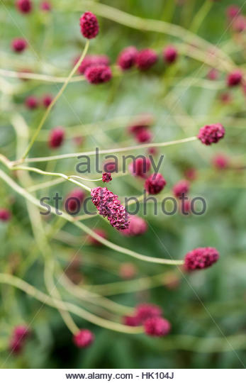 Sanguisorba stock photos sanguisorba stock images alamy for Sanguisorba officinalis red thunder