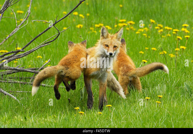 American Red fox (Vulpes vulpes fulva) baby leaping on its disinterested mother. Grand Teton National Park, Wyoming, - Stock-Bilder