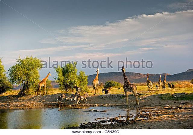 South Africa,Madikwe National Park Giraffe, Ceratotherium simum Burchell's Zebra, Equus burchelli, drinking - Stock Image