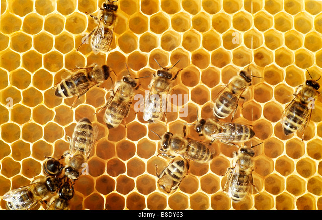Overhead view of honeybees on a comb - Stock-Bilder