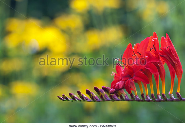 Crocosmia lucifer flowers in an english garden - Stock Image