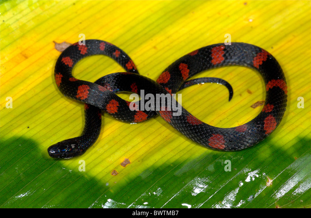 Colombian Earth snake Geophis brachcephalus in rainforest Costa Rica - Stock Image