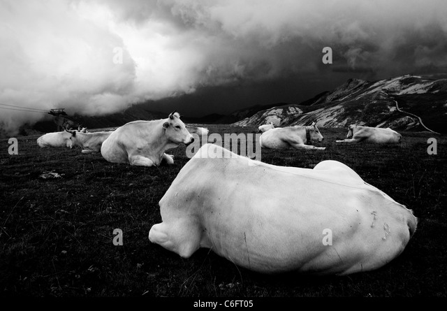 White cows on a cloudy mountain - Stock-Bilder