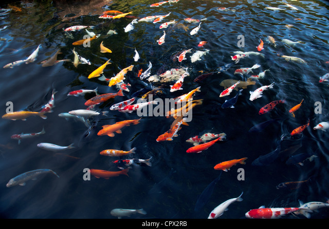 Koi carp stock photos koi carp stock images alamy for Koi pool water gardens poulton