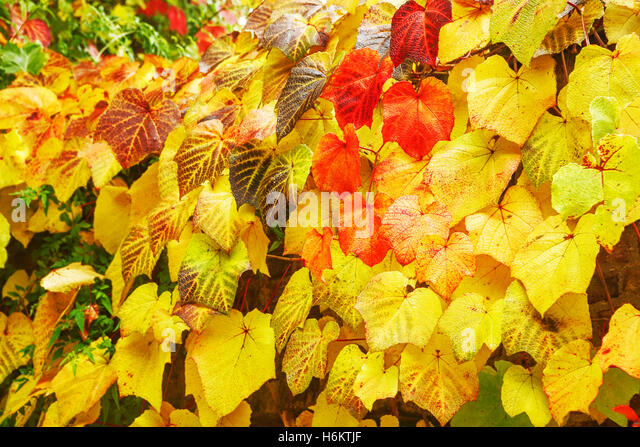 Autumn leaves London UK. London fall. Autumn colour UK. Autumn colours UK. Backgrounds. Textures abstract nature. - Stock Image