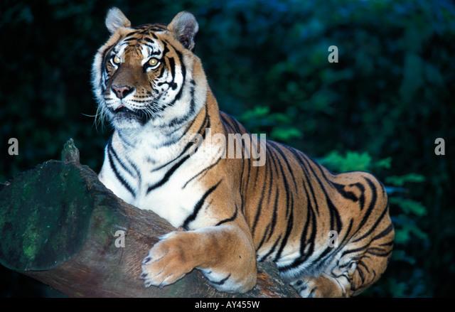 portrait tigre de siberie Siberian Tiger Panthera tigris altaica adult alert animal animal portrait animals Asia - Stock Image