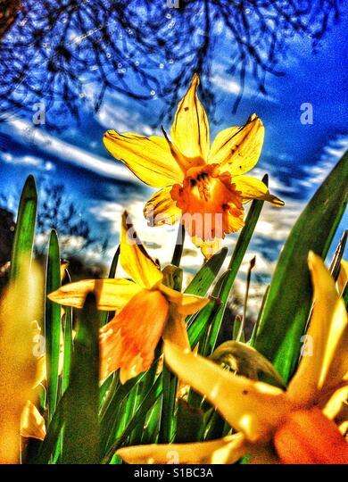 Spring daffodils - Stock Image
