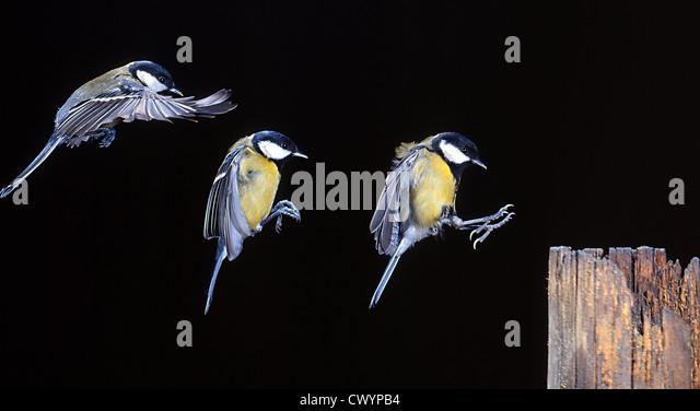 Great Tit (Parus major) in landing approach, triple exposure - Stock Image