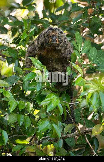 A female White-faced Saki monkey at a tree canopy in the Amazon - Stock Image