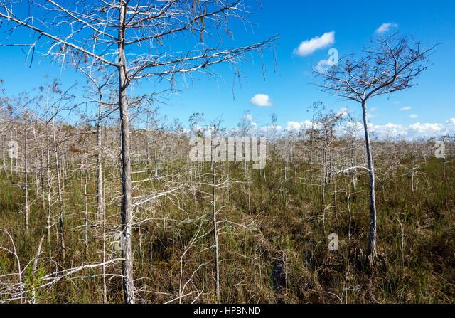 Florida Everglades National Park freshwater marl prairie dwarf cypress - Stock Image
