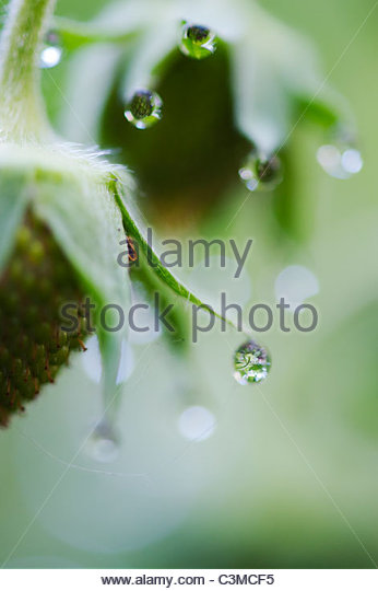 Morning dew drops on strawberry plant - Stock Image