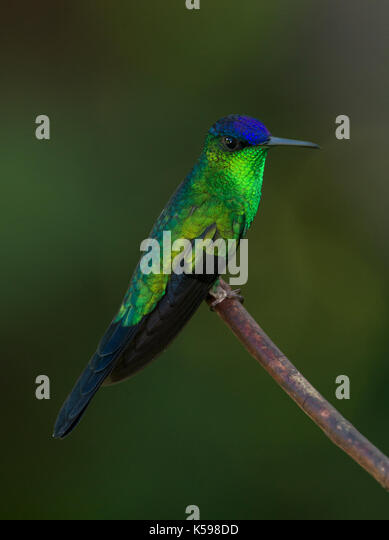 A male Violet-capped Woodnymph from the Atlantic Rainforest of SE Brazil - Stock Image