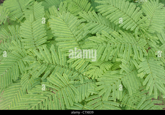 Acacia pennata or Acacia insuavis Lace background - Stock-Bilder