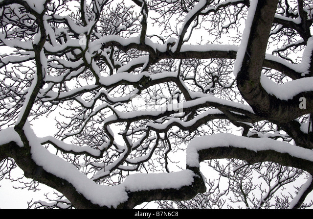 Snow piled up on tree branches - Stock Image