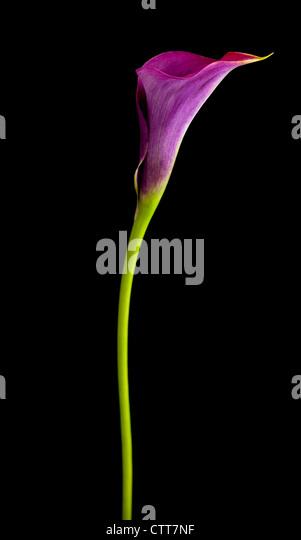 Zantedeschia 'Captain Prado', Lily, Arum lily, Calla lily, Purple, Black. - Stock Image