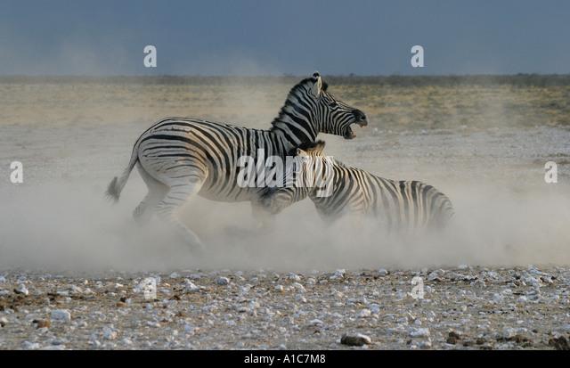 Two Burchell's Zebra Stallions fighting at Newbrownii waterhole,Etosha National Park, Namibia, Africa. - Stock Image