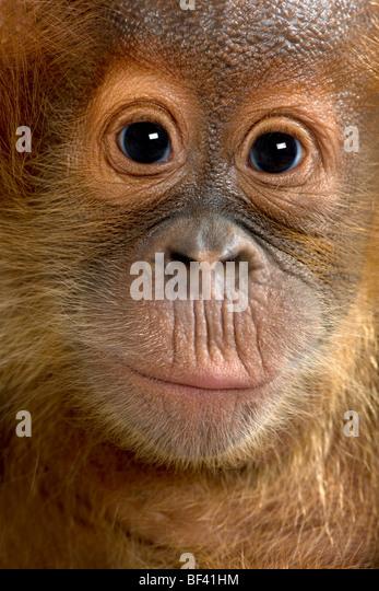 Close-up portrait Baby Sumatran Orangutang, 4 months old - Stock-Bilder