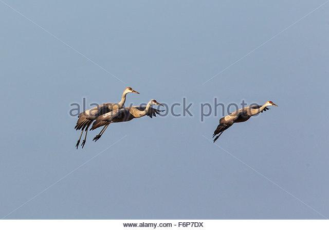 Sandhill Cranes in flight - Stock Image