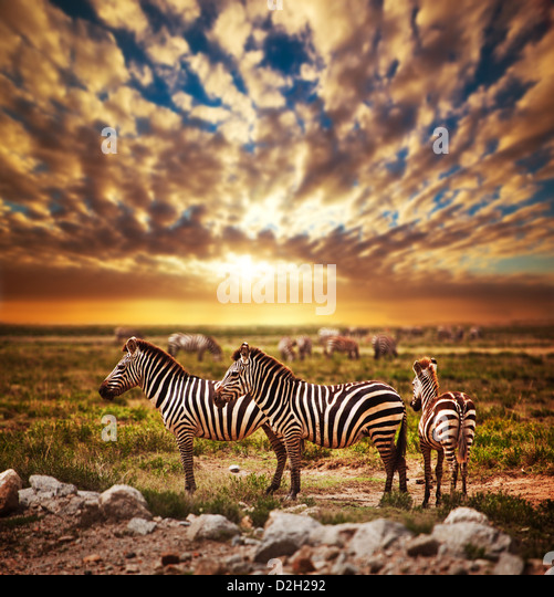 Zebras herd on savanna at sunset, Africa. Safari in Serengeti National Park, Tanzania - Stock Image