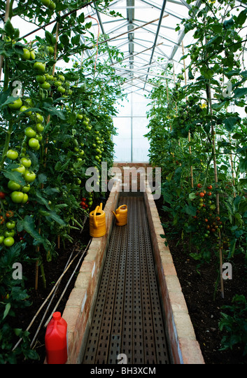 A green house full of tomato plants - Stock Image
