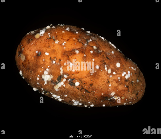 Rubbery rot (Geotrichum candidum) tuber infection on a potato - Stock Image