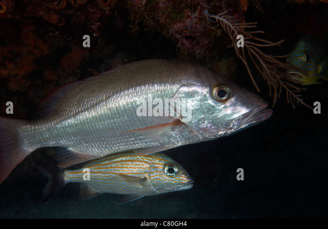 White grunt stock photos white grunt stock images alamy for Whiting fish florida