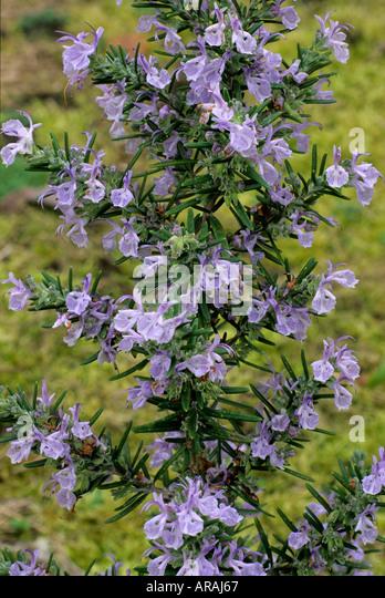 Rosmarinus 'Miss Jessop's Upright' Jessop Rosemary blue flower flowers garden plant plants herb herbs - Stock Image