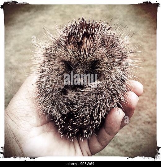 baby-hedgehog-held-in-hand-s05w69.jpg