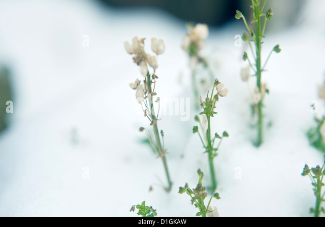 Little green and white plants growing through deep snow - Stock Image