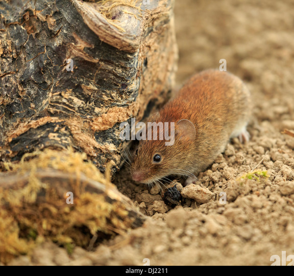 Small Rodent Stock Photos & Small Rodent Stock Images