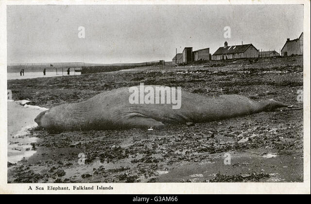 Stranded Sea Elephant (Southern Elephant Seal) - Falkland Islands     Date: circa 1920s - Stock Image