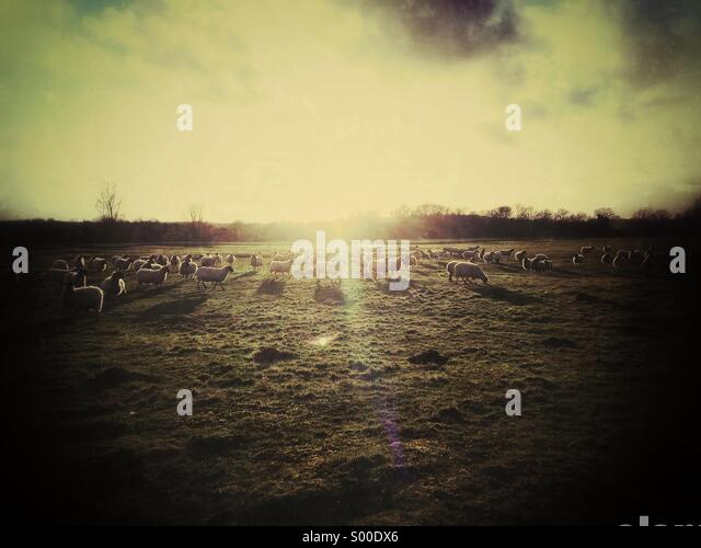 Sheep in field, looking into sun - Stock Image
