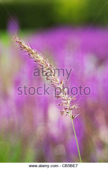 Pennisetum orientale 'Fairy Tales'. Fountain grass. - Stock Image