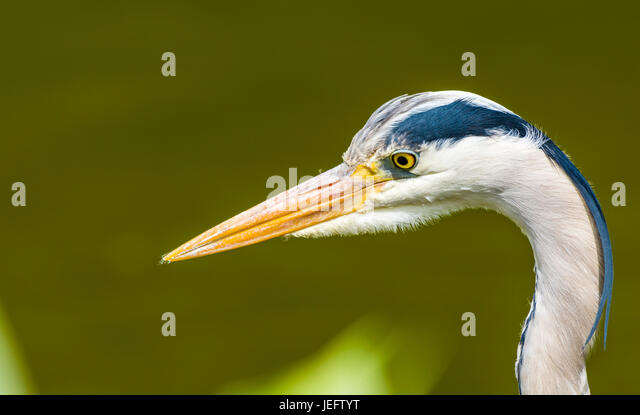 Heron in the water gardens at Cliveden, Buckinghamshire, UK - Stock Image