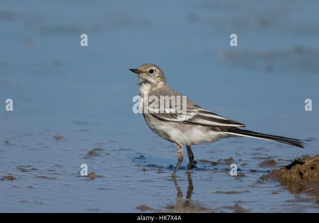 Pied Wagtail juvenile, late summer - Stock-Bilder