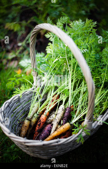 Fresh rainbow carrots picked from the garden - Stock Image